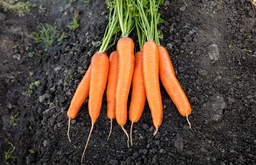 Carrot Marlin