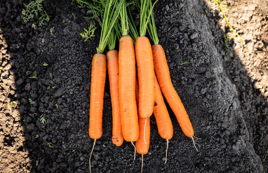 Carrot Sturgeon