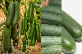 Hybrid Cucumbers for Indoors and Outdoors
