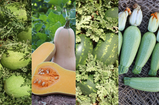 Hybrid Cucurbits for Every Field