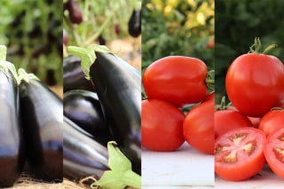 Four New Hybrid Solanum Varieties Offered