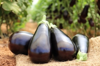 Hybrid Eggplant Varo: A-Quality Fruits Assured