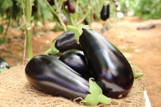 Hybrid Eggplant Vidal: Developed Especially For Year-round Production