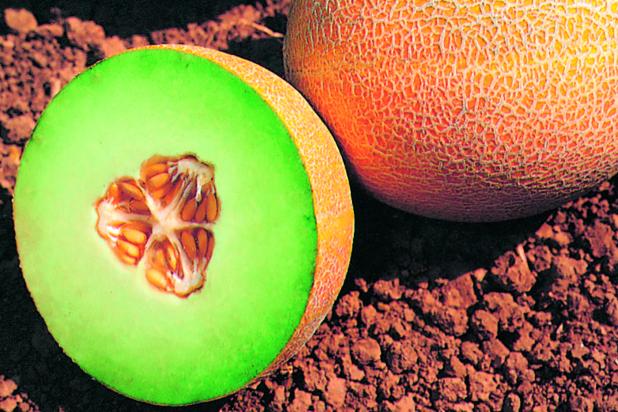 Hybrid Galia Melon Antalya Improved
