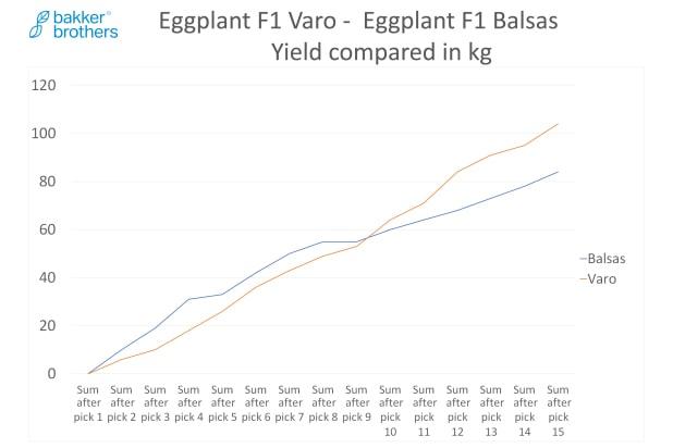 Hybrid Eggplant Varo Yield