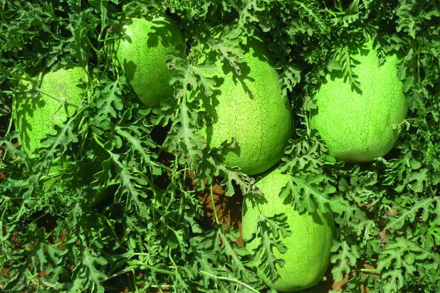 Hybrid Charleston Gray Watermelon Barbados