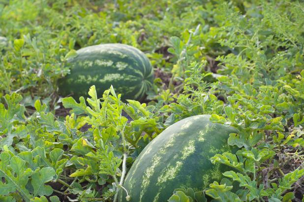 Hybrid Crimson Sweet Watermelon BB CWA 0935