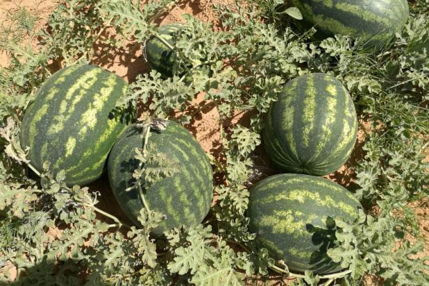 Hybrid Crimson Sweet Watermelon Matilo