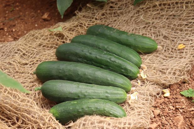 Hybrid Cucumber Prima Top Fruits