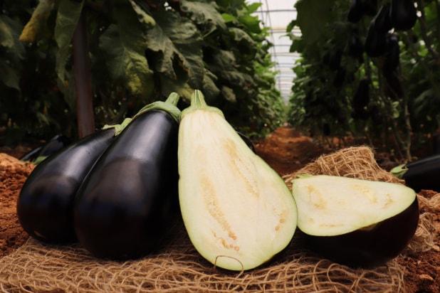 Hybrid Eggplant Varo Fruits