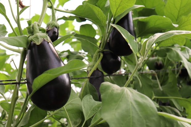 Hybrid Eggplant Varo Plant