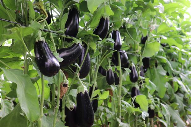Eggplant Vidal Plant